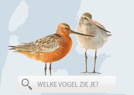 Wadvogels waddengebied vogels spotten