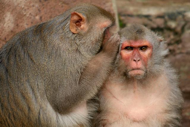 roddelende apen