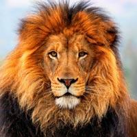 leeuw-foto
