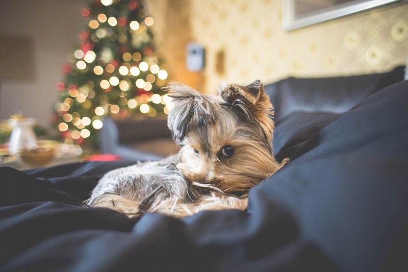 Puppy met kerst