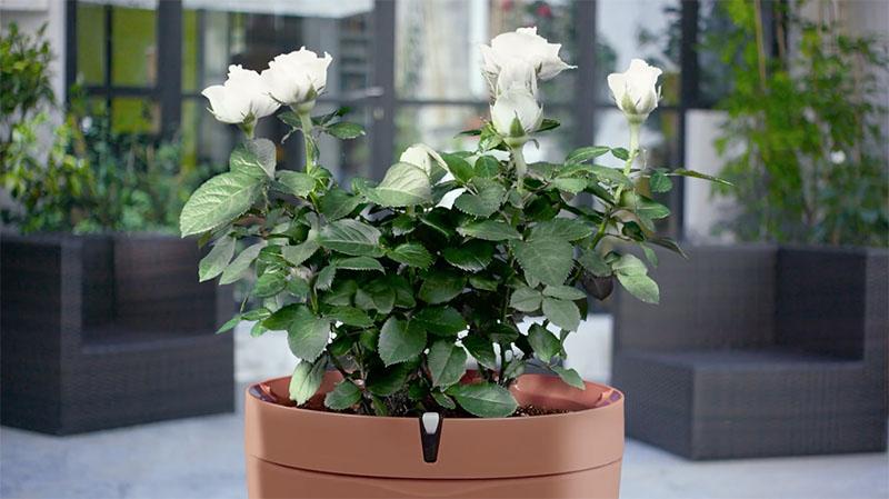 Parrot Pot met rozen
