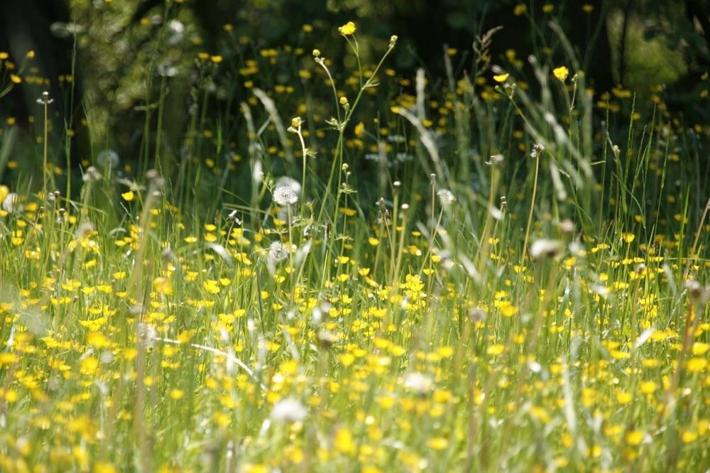 Hooikoorts met gras en pollen.