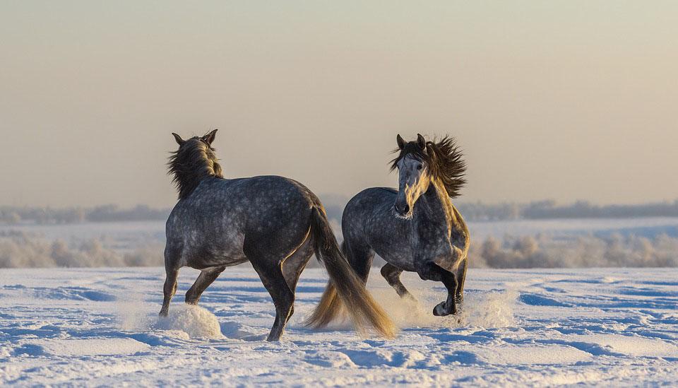 Actiefoto met paarden